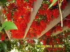 VERY RARE PLANTS * Strongylodon Siderospermus *Jade Vine * 1 large viable seed