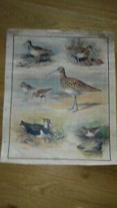 Vintage MacMillan's School Nature PosterBirds of Marsh and Heath