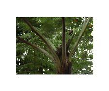 50 SEMI//spore-Nuova Guinea FELCE albero Corallo-Cold CYATHEA gleichenioides
