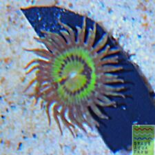 """New listing Saf~ButtMuncher Zoanthids frag """"Wysiwyg� Palythoa, Paly, Zoa, Soft, Live Corals"""