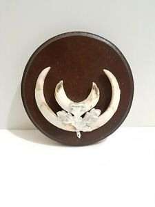 Taxidermy Wild Boar Tusks On Round Shield. Shield Is 14cm Across. #16
