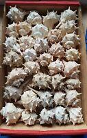Lot Murex brandaris 35 seashells