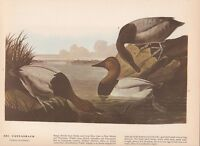 "1942 Vintage AUDUBON BIRDS #301 ""CANVASBACK DUCK"" Color Art Plate Lithograph"