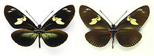 MOUNTED SPREAD BUTTERFLY - Heliconius doris dives, green form
