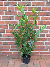 kirschlorbeer strauchpflanzen der gattung prunus g nstig kaufen ebay