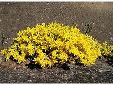 Sedum Acre 'Golden Carpet' x25 Fresh Seeds