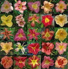 Taglilien-Mix mit 5 verschiedenen Pflanzen (Hemerocallis)