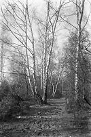1910s WIMBLEDON COMMON #5 Antique Photographic Glass Negative (London Trees)