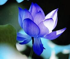 10 x Blue Lotus Seeds Nelumbo Nucifera Blue Water Lily RAREE XOTIC - AU POST