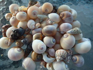 15 x Hermit Crab Shells. Great Variety of Sizes. Ideal for Live Hermit Crabs!!