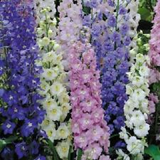 DELPHINIUM Giant Pacific Mixed 60 seeds colourful flower garden open polinated