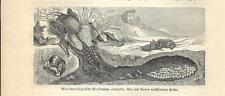 Stampa antica INSETTI GRILLOTALPA vulgaris INSECTA 1891 Old antique print