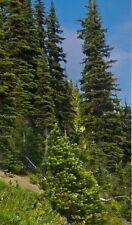 NordmannTanne exotische Sukkulenten immergrüne Bäume für den Blumentopf Balkon