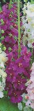 """3 Königskerzen Verbascum phoeniceum Violetta  """"3 Wurzelstöcke"""" Königskerze"""