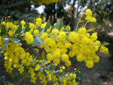 Acacia cultriformis (Wattle) in 50mm forestry tube Native plant
