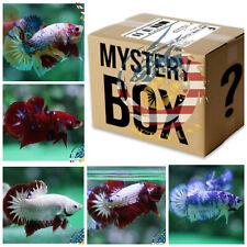 Betta Fish Surprise Box  2 OR MORE- LIVE BETTA FISH HALFMOON PLAKAT MALE