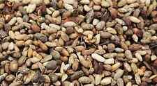 Neem Seed Azadirachta Indica 100g Sun Dried Organic Neem Beej Nimboli Free Ship