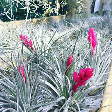 TILLANDSIA Air Plant (Houston) 8-10cm (Will Combine Postage) Bromeliad