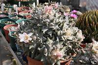 Ariocarpus retusus @@ exotic rare desert  living rock cactus cacti seed 50 SEEDS