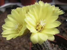 Frailea gracillina exotic cacti rare cactus bonsai caudex seed 50 Seeds