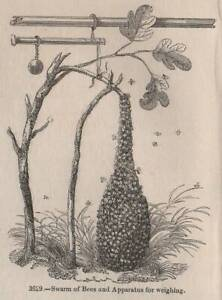 ANTIQUE C1845 PRINT BEE KEEPING SKEP HIVE HONEY APIARY QUEEN SWARM NEST BUMBLE /