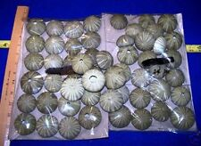 3 - large Green Sea Urchins Seashells Crafts Weddings Item # 1018L-3