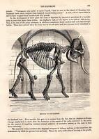Elefant Skelett Elefanten HOLZSTICH von 1866 SKELETON OF THE ELEPHANT