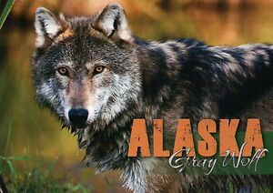 Alaska Gray Wolf, Canus Lupus, AK Timber Wolf, North America --- Animal Postcard