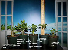 5 ADENIUM ARABICUM PLANTS DESERT ROSE THAI SOCO #J16 GOLDEN BELL MKMK EMERALD CR