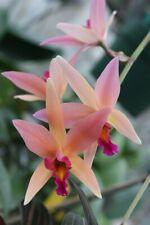 L. Santa Barbara Sunset `Showtime' Hcc/Aos M Cattleya Orchid Plant