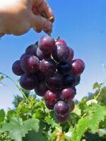 Vitis vinifera Kyoho - dunkelrote Pflaumentraube Weinrebe Tafeltraube - gute Pil