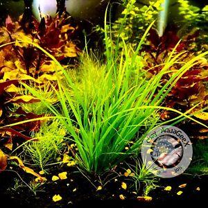 2 Plants ( Cyperus Helferi ) Freshwater Aquarium Terrarium Live Plants Rare Moss