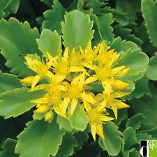 Sedum 'Spirit' Seed Evergreen Perennial Groundcover Yellow Flowers Drought OK
