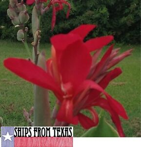 RED CANNA INDICA, INDIAN SHOT, BRILLIANT, VERY SHOWY, 25 FRESH HOMEGROWN SEEDS