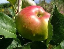 BRAMLEY APPLE - strong field grown trees ready to crop - COLLECTION ONLY