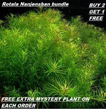 B2G1 Rotala Nanjenshan Bundle Stem Freshwater Live Aquarium Plant Planted Tank
