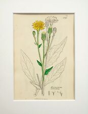 Yellow Hawkweed - Sowerby 1800s Mounted Antique Botanical Print Hand Coloured 20