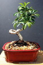 Coiled Umbrella Bonsai Tree Beginner Tree Indoors