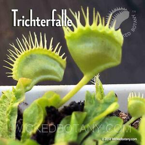 "Venus Flytrap - Trichterfalle - Young 1-2"" Potted Starter Plant"