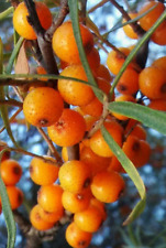 Aubépine argousier - Hippophae rhamnoides ( comestible , résistant ) 150 graines