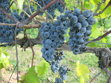 Grapes Growing Culture Wine Making 30 Books on CD DVD Vine Vineyard How to Grow