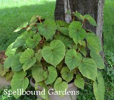 Begonia Grandis Hardy Begonia Live Plant