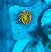 New listing Live Yellow Butt Kiss Zoa Zoanthid Frag Coral, 1 Polyp
