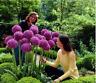 Heirloom Allium Giganteum Giant Onion with Purple Flower Seeds 50 Seeds