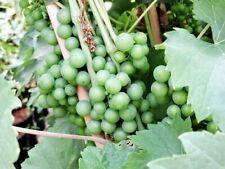 Wein-Pflanzen