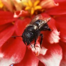 New listing Californica Orchard Mason Bees/ Blue Orchard Bee (Combo) 200 bees