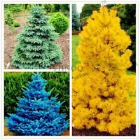 50pcs/bag Yellow/Blue/green Spruce Tree Seeds Rare Evergreen Colorado Flower Pot