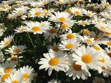 100 graines GRANDE MARGUERITE(Leucanthemum Superbum)X49 SHASTA DAISY SEEDS SEMI