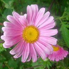 1111 China Aster Wyldflower Seeds Butterfly Gardens Pastel Colors Bulk Free Ship