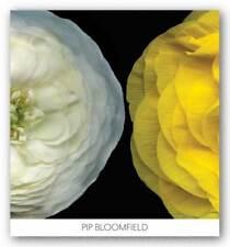 Ranunculus Right Pip Bloomfield Art Print 24x24
